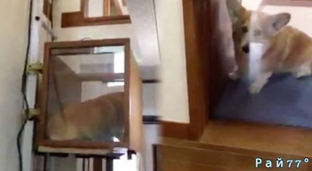 Японец установил мини - лифт для собаки, в своей двухуровневой квартире. (Видео)