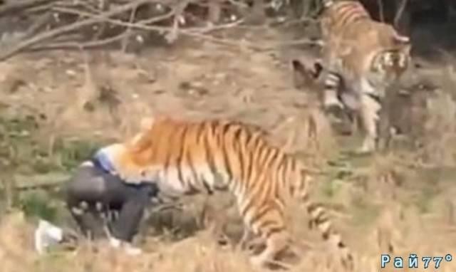 Тигр утащил туриста в китайском парке дикой природы. (Видео)