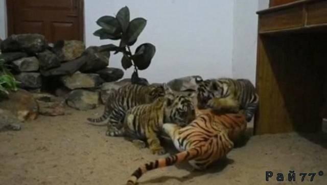 В вольер к осиротевшим тигрятам поместили искусственную тигрицу, в национальном парке Индии. (Видео)