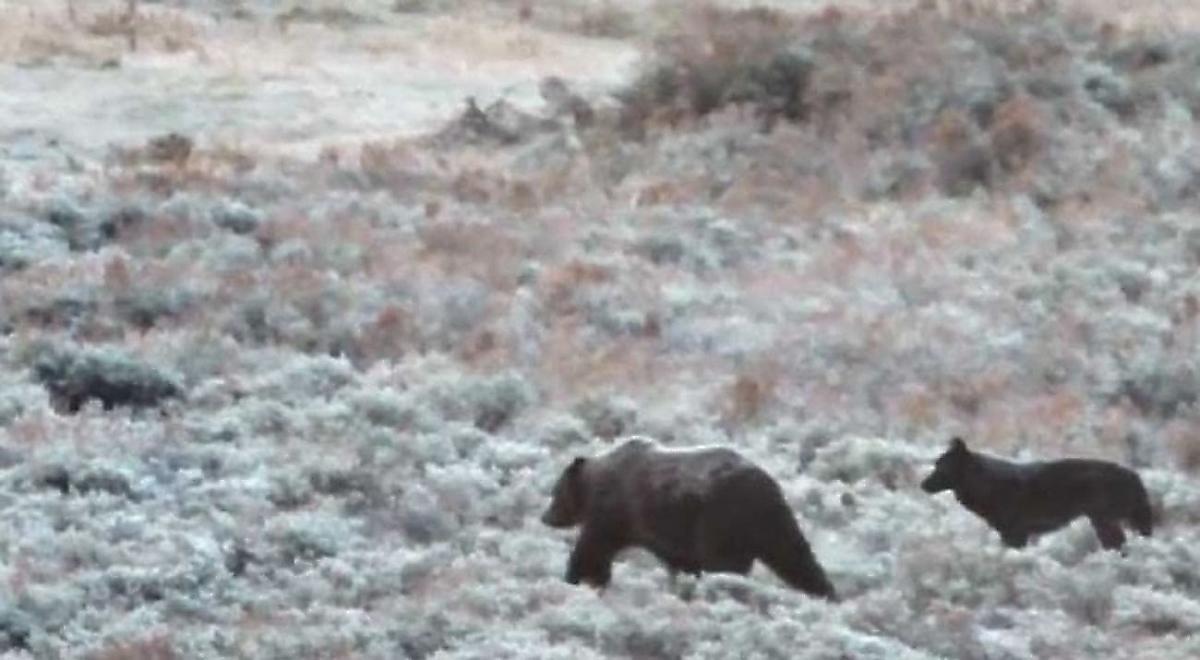 Медведь прибился к волчьей стае, чтобы пережить зиму