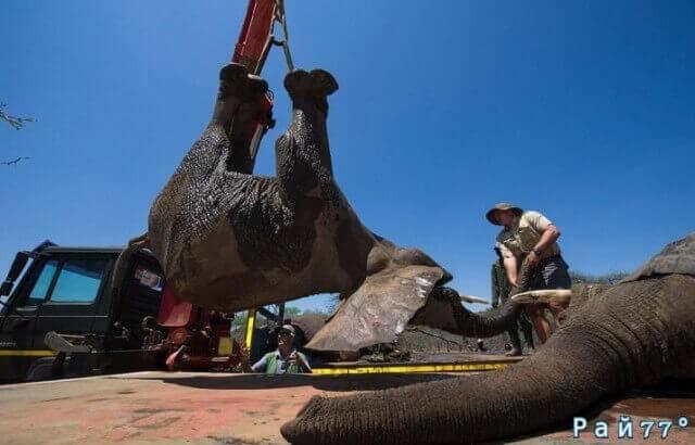 Крупномасштабную операцию по перевозке слонов с использованием подъёмного крана провели в Южной Африке.