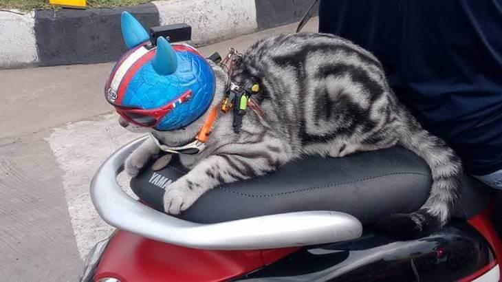 Кот в очках и шлеме, сидящий на мотоцикле за спиной у своего хозяина разъезжает по улицам в Тайланде. (Видео)