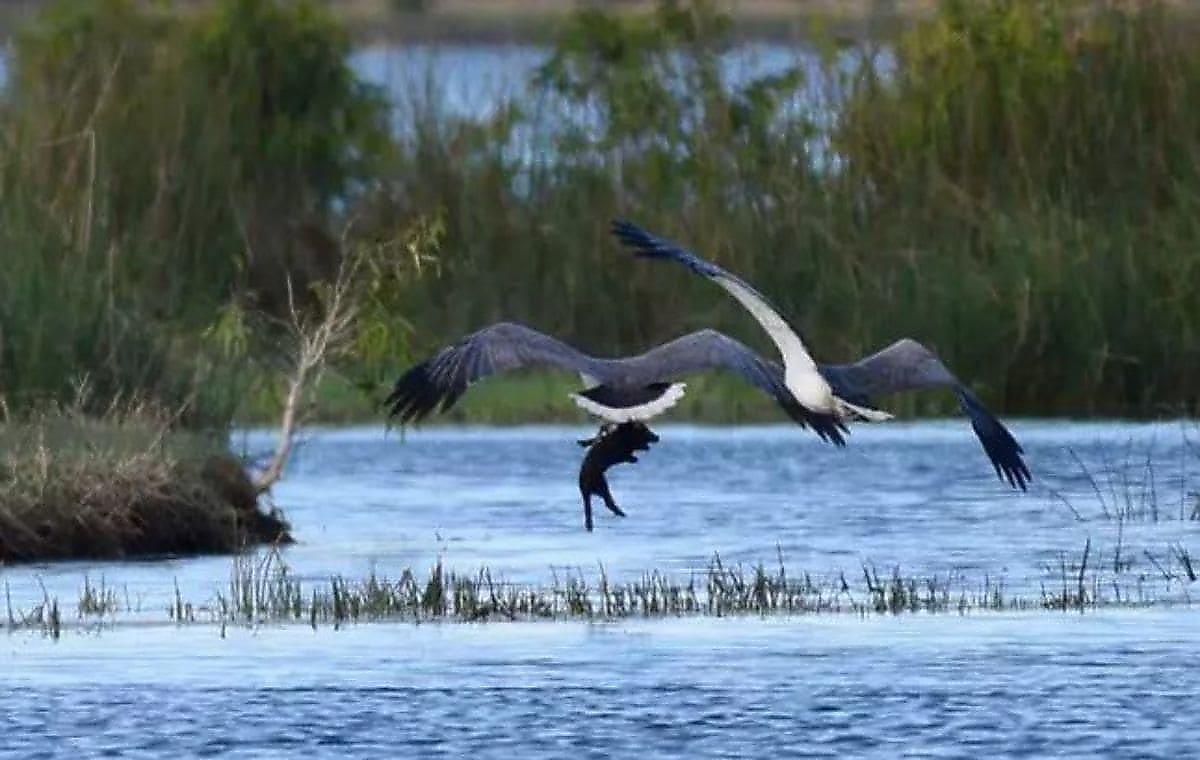 Орёл унёс поросёнка на глазах у австралийского фотографа