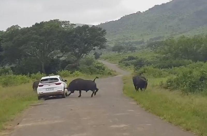 фото буйволиц и автомобили найдете цены только