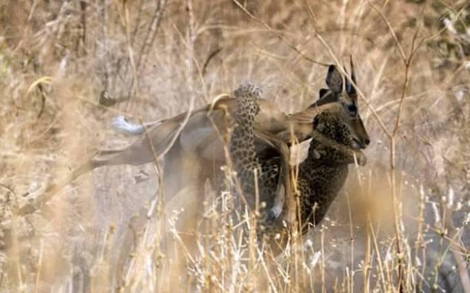 Молниеносная охота: леопард с дерева атаковал антилопу на глазах ошеломлённого туриста