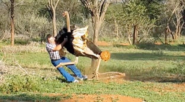 Страус побил туриста на ферме в ЮАР. (Видео)