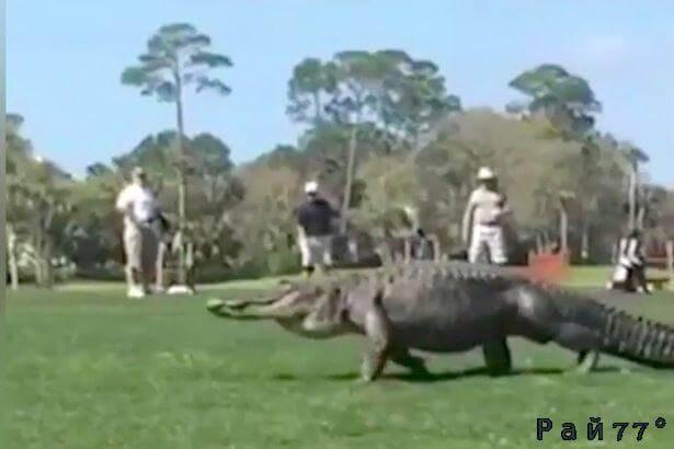 Появление огромного аллигатора повергло в ужас гольфистов в США. (Видео)