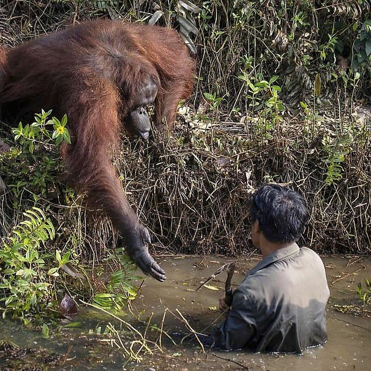 Орангутан протянул руку помощи змеелову на Борнео