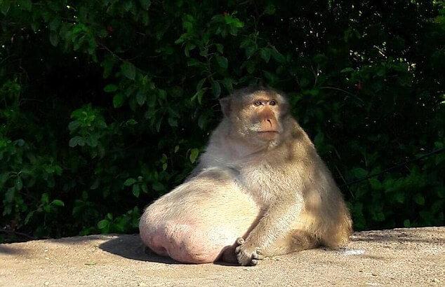 В Тайланде посадили на диету разжиревшую, длиннохвостую макаку.