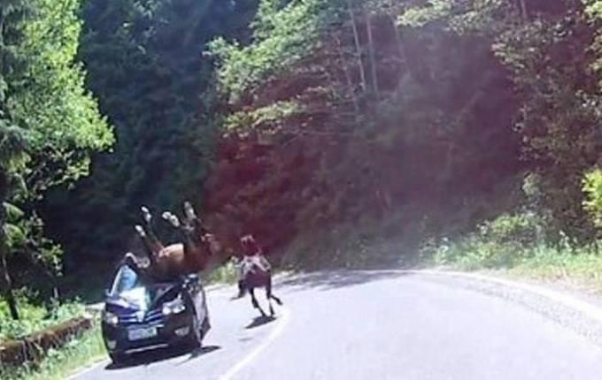 Дикая лошадь разбила дорогой автомобиль в Румынии. (Видео)