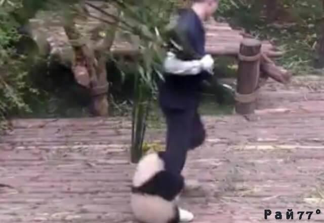 Детёныш панды «помог» смотрителю убраться в своём вольере. (Видео)
