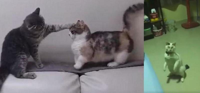 Коты - боксёры покорили интернет