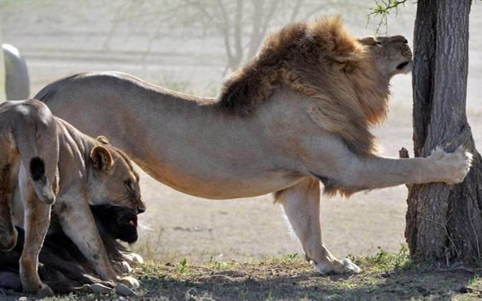 Поцелуй смерти. Львица впилась в морду беспомощной антилопы в африканском парке дикой природы.