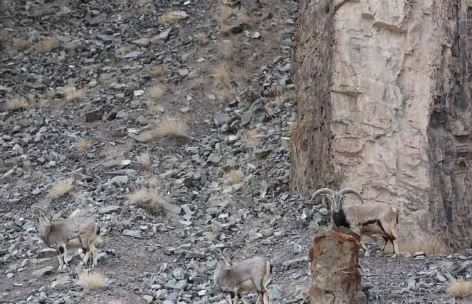 Мастер маскировки: фотограф рассекретил спрятавшегося снежного барса в горах Индии