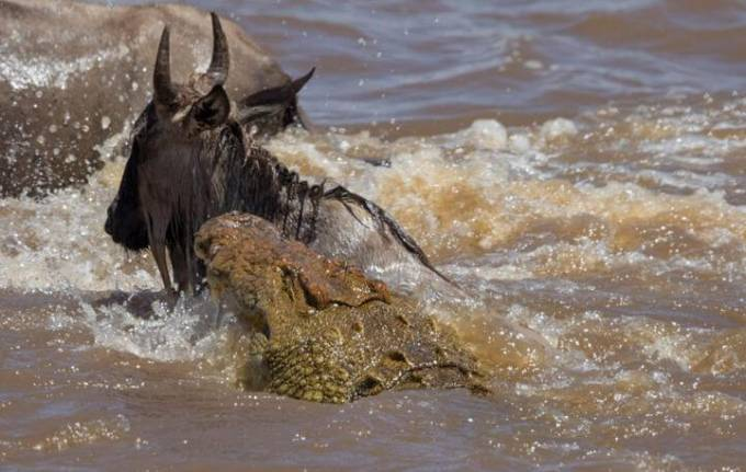 Британский турист сфотографировал, как огромный крокодил «поужинал» антилопой гну в Кении.