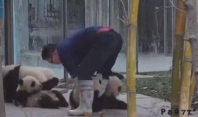 Панды разули смотрителя зоопарка в Китае. (Видео)