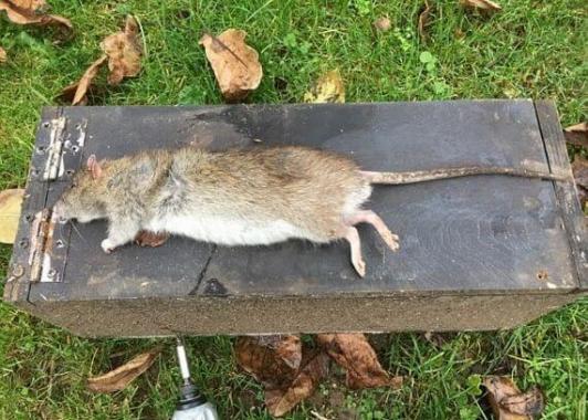 Крысолов поймал гигантского грызуна в частном доме в Британии. (Видео)